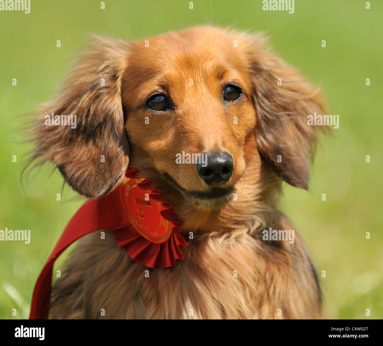 dachshund prize winner at dog show - Stock Image