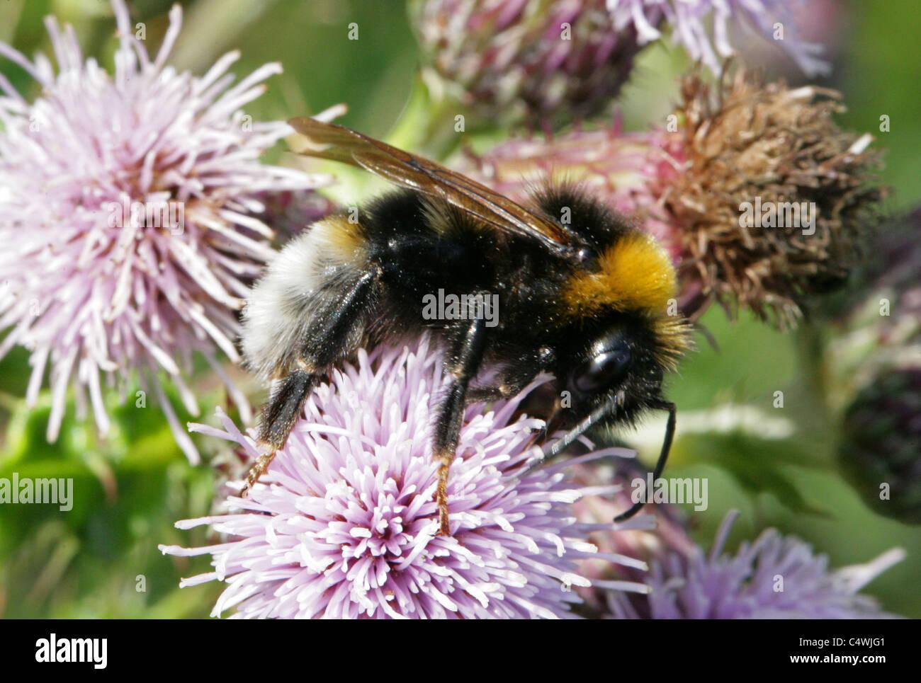 Gypsy Cuckoo Bumblebee, Bombus bohemicus, Apinae, Apidae, Apoidea, Apocrita, Hymenoptera. Syn. Psithyrus bohemicus. - Stock Image