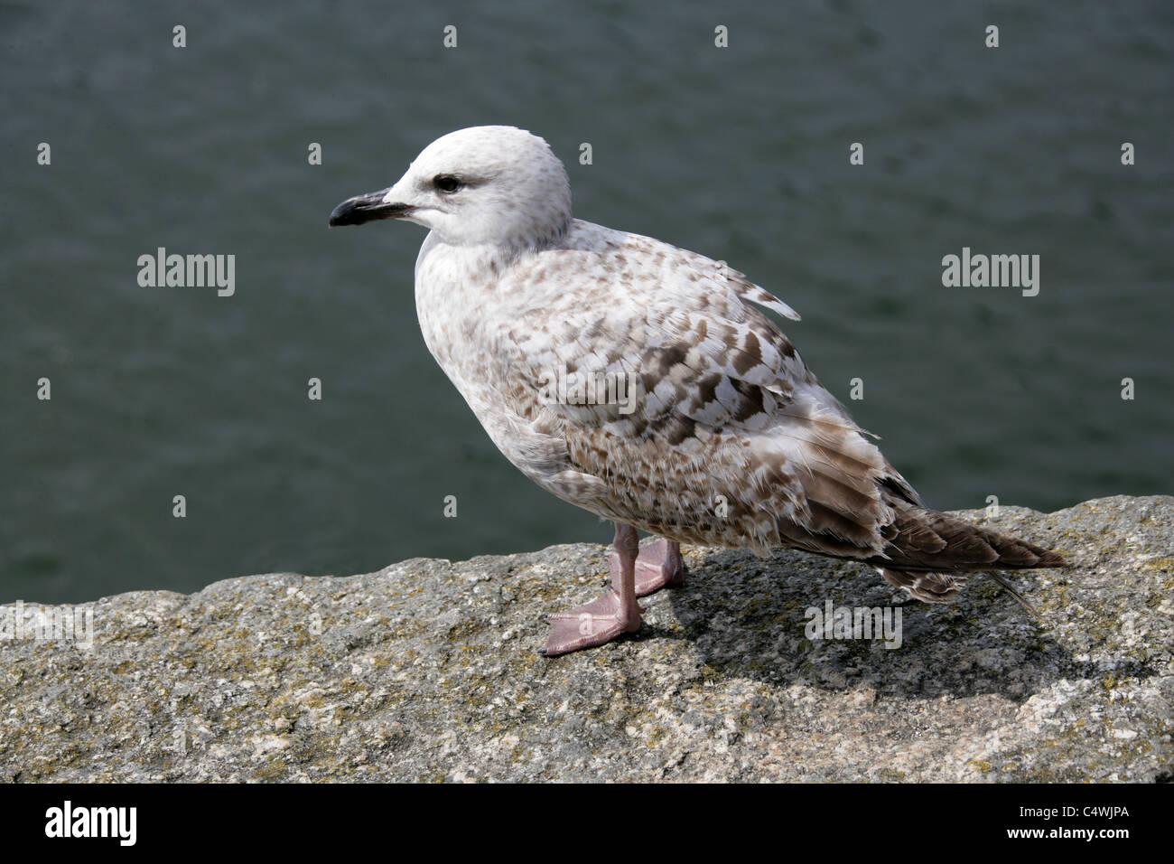 Juvenile Herring Gull, Larus argentatus, Laridae. - Stock Image