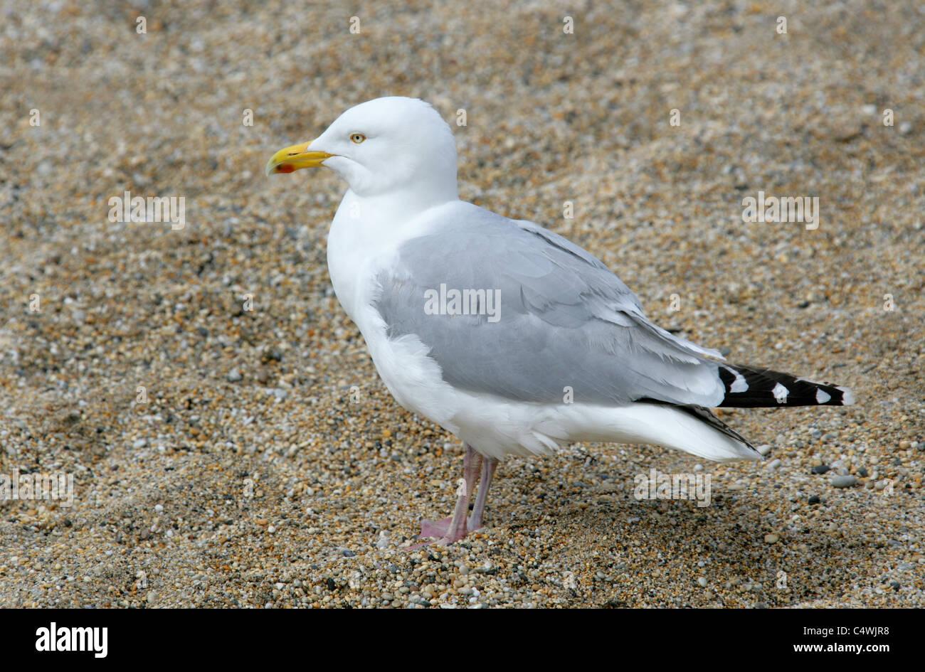 Adult Herring Gull, Larus argentatus, Laridae. - Stock Image