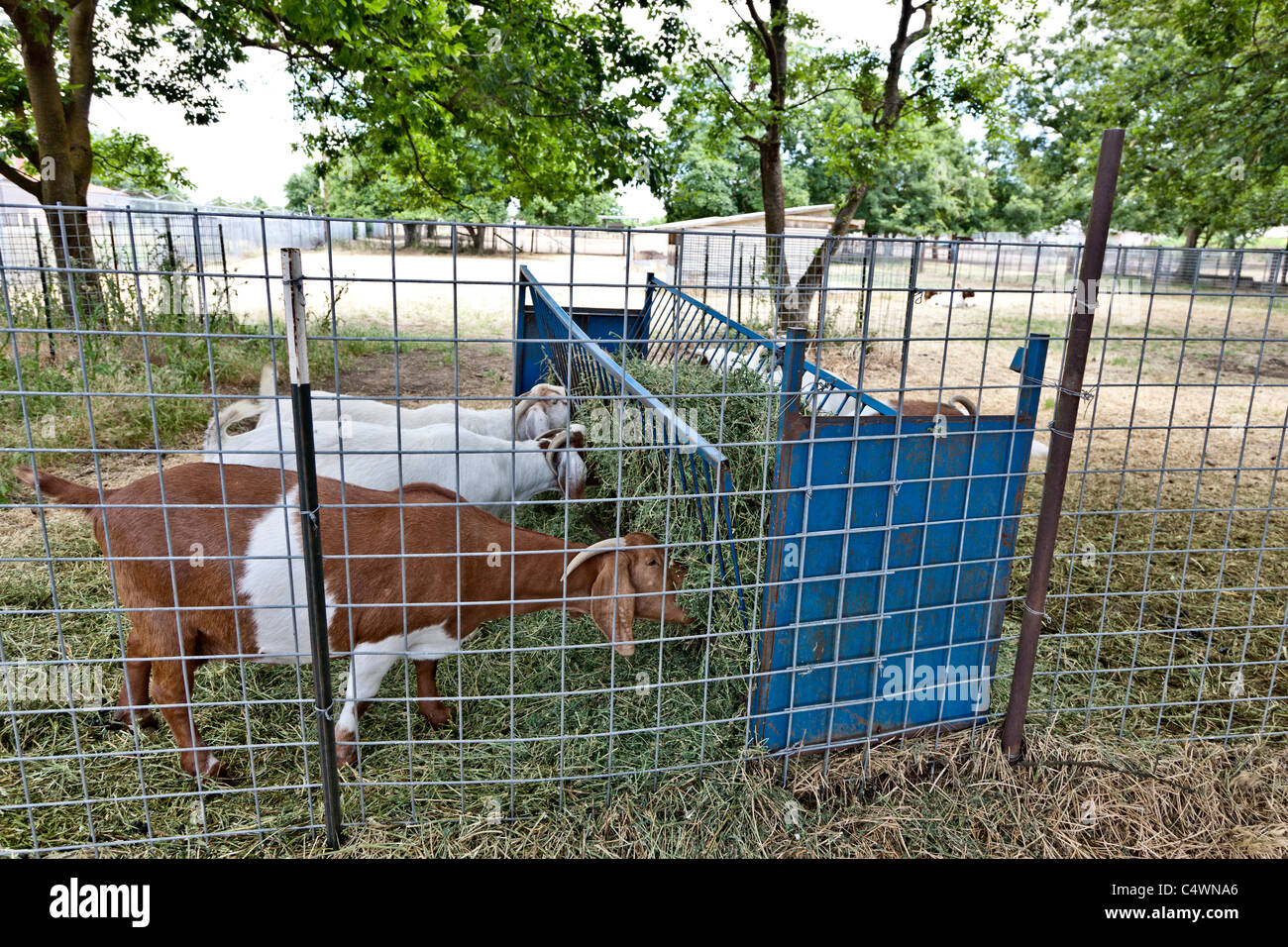 Goats 'Boer X', feeding - Stock Image