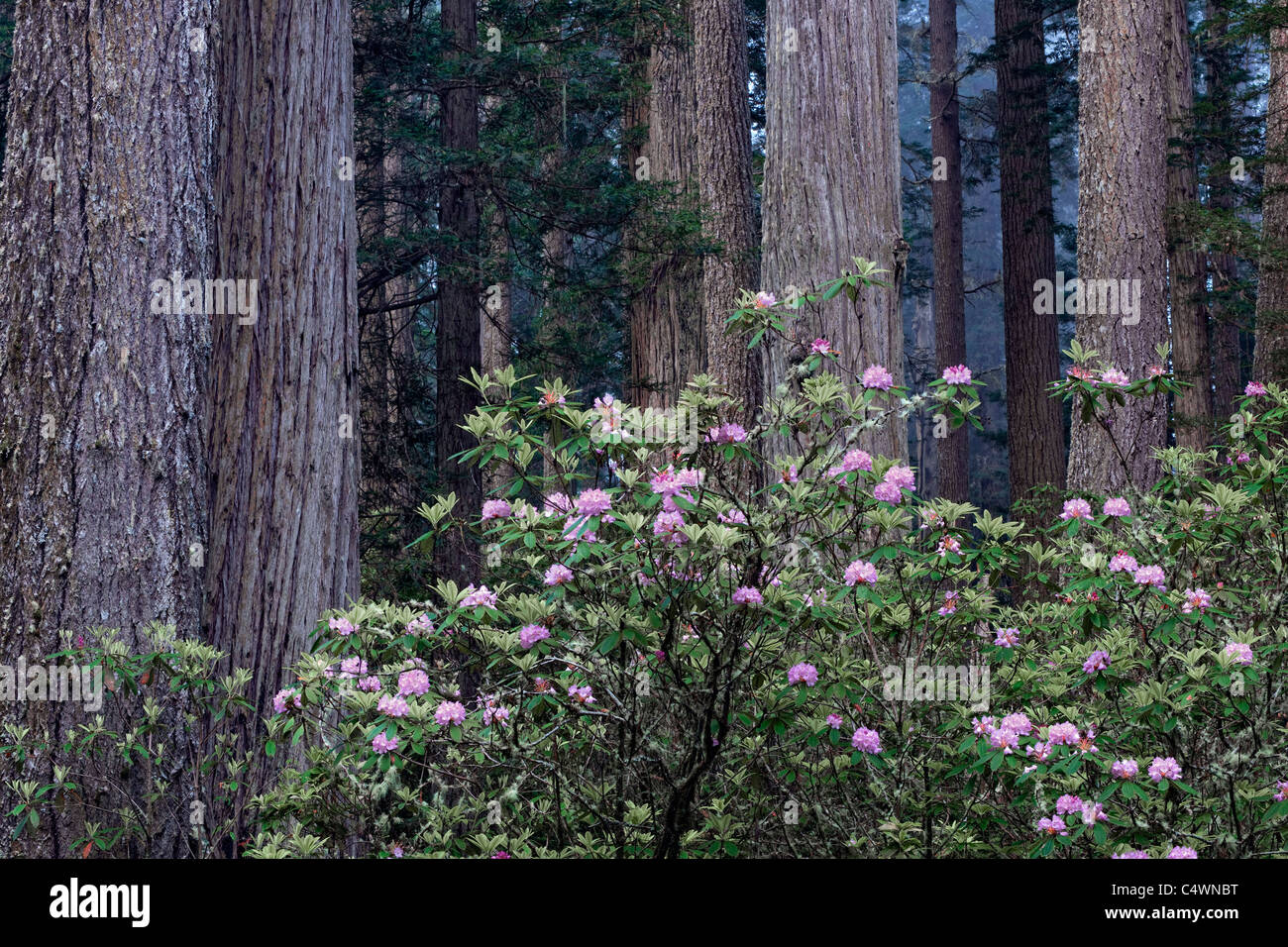 Spring rhododendron bloom among the redwood trees in California's Del Norte Coast Redwoods State and National Parks. Stock Photo