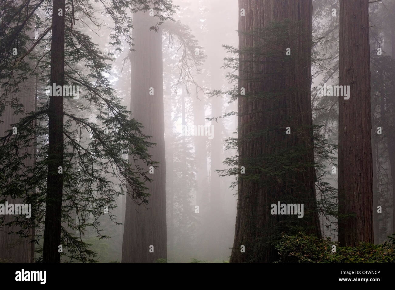 Giant redwood trees and fog in the Lady Bird Johnson Grove of California's Prairie Creek Redwoods State and National - Stock Image
