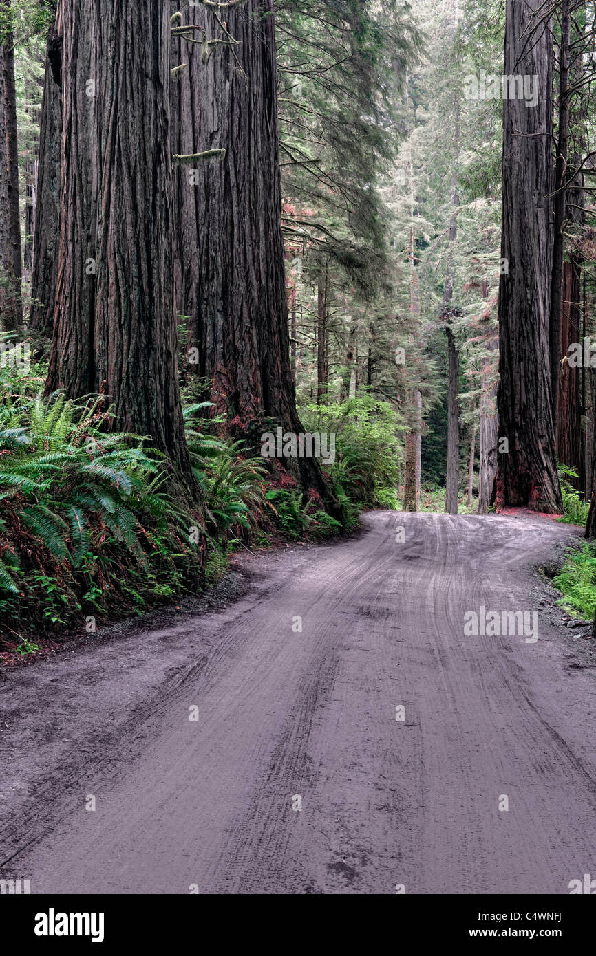 Massive redwood trees grow along Howland Hill Road in California's Jedediah Smith Redwoods State and National - Stock Image
