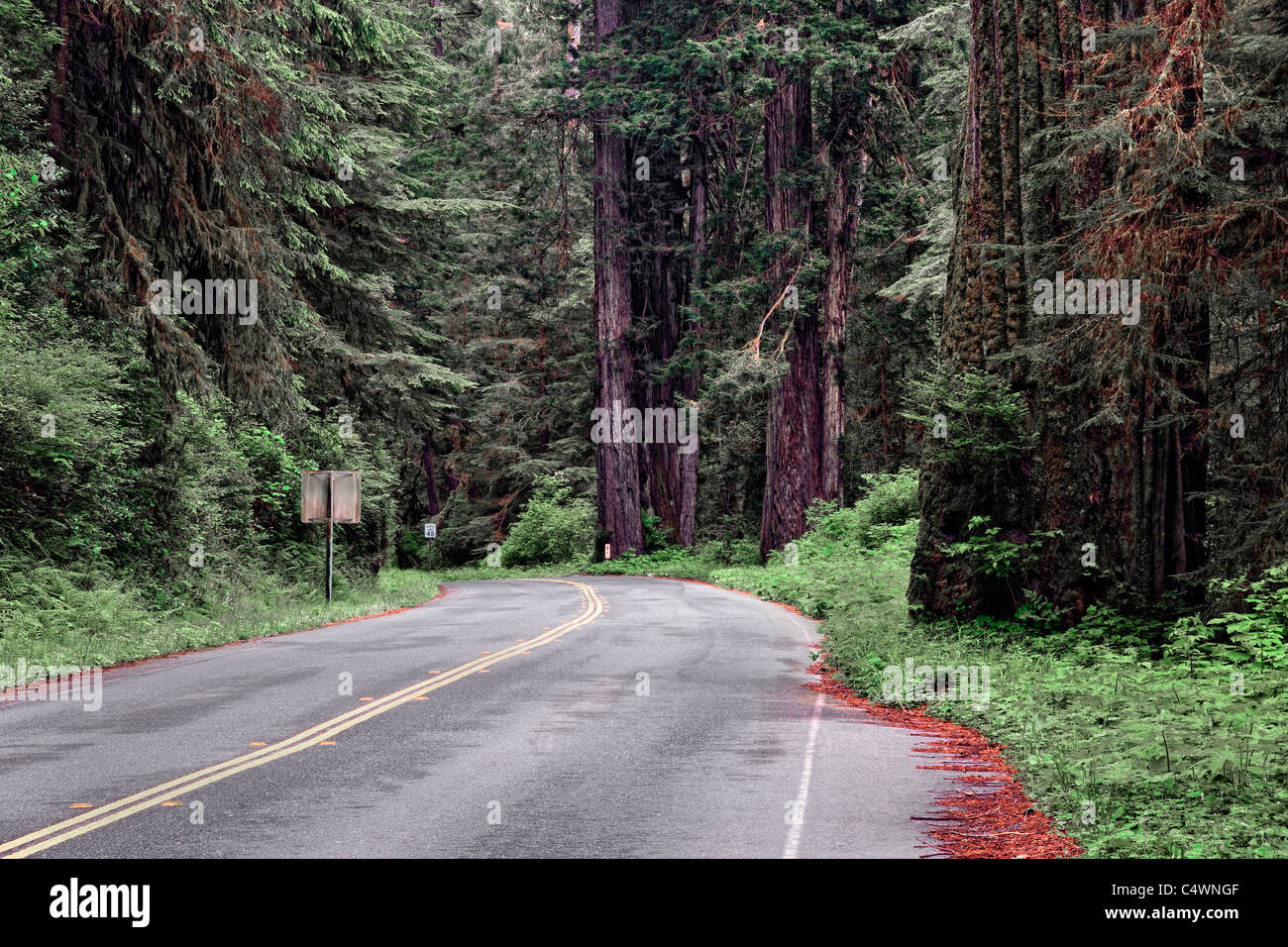 Groves of giant redwood trees along the Drury Scenic Parkway in California's Prairie Creek Redwoods State and - Stock Image