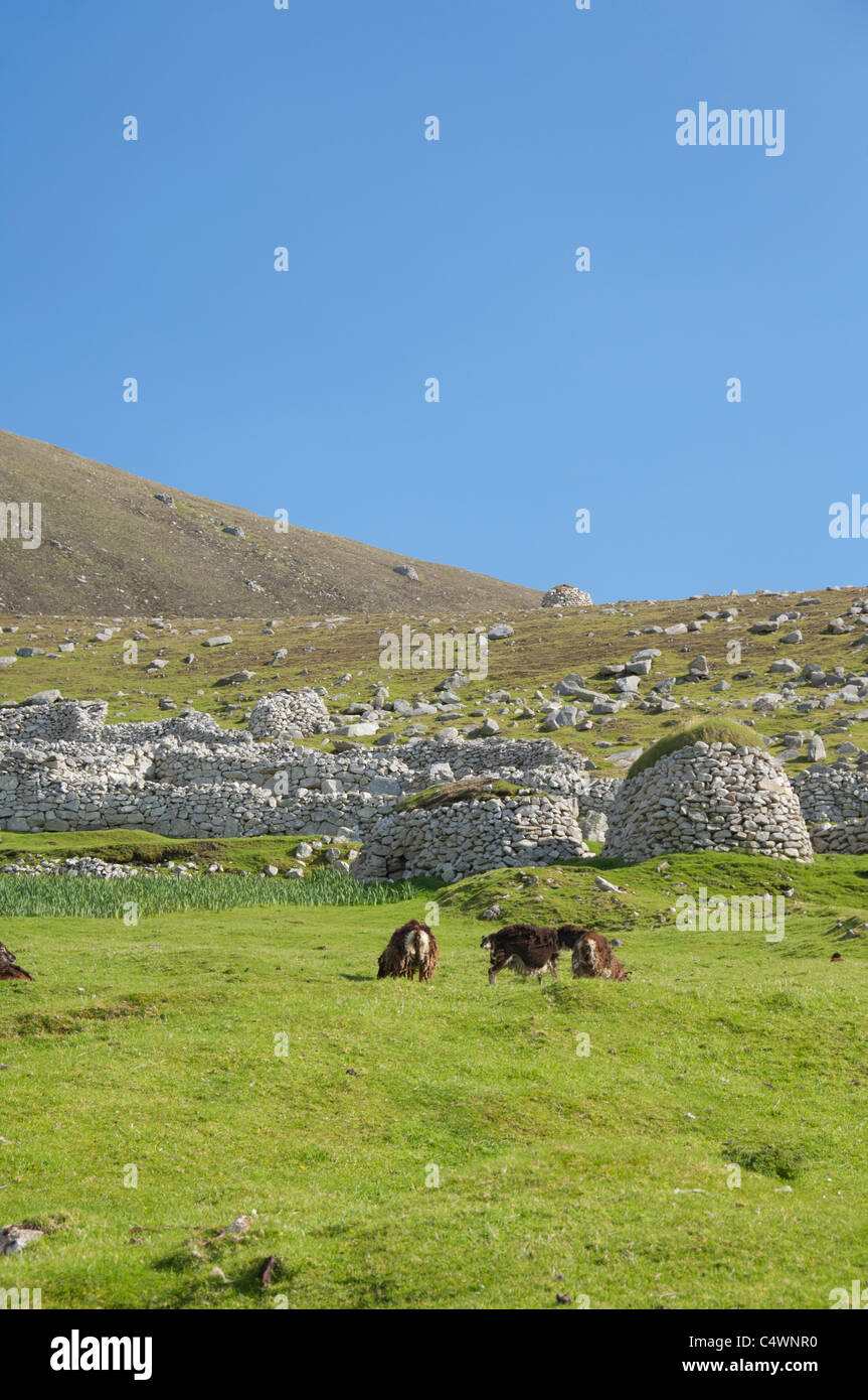 Scotland, St. Kilda Islands, Outer Hebrides. Historic island of Hirta. Primitive Soay sheep. - Stock Image