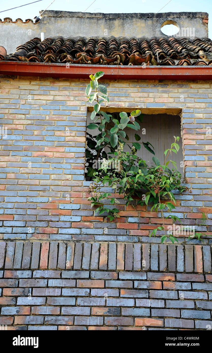 plants growing through window of unoccupied house in Fusagasuga - Stock Image