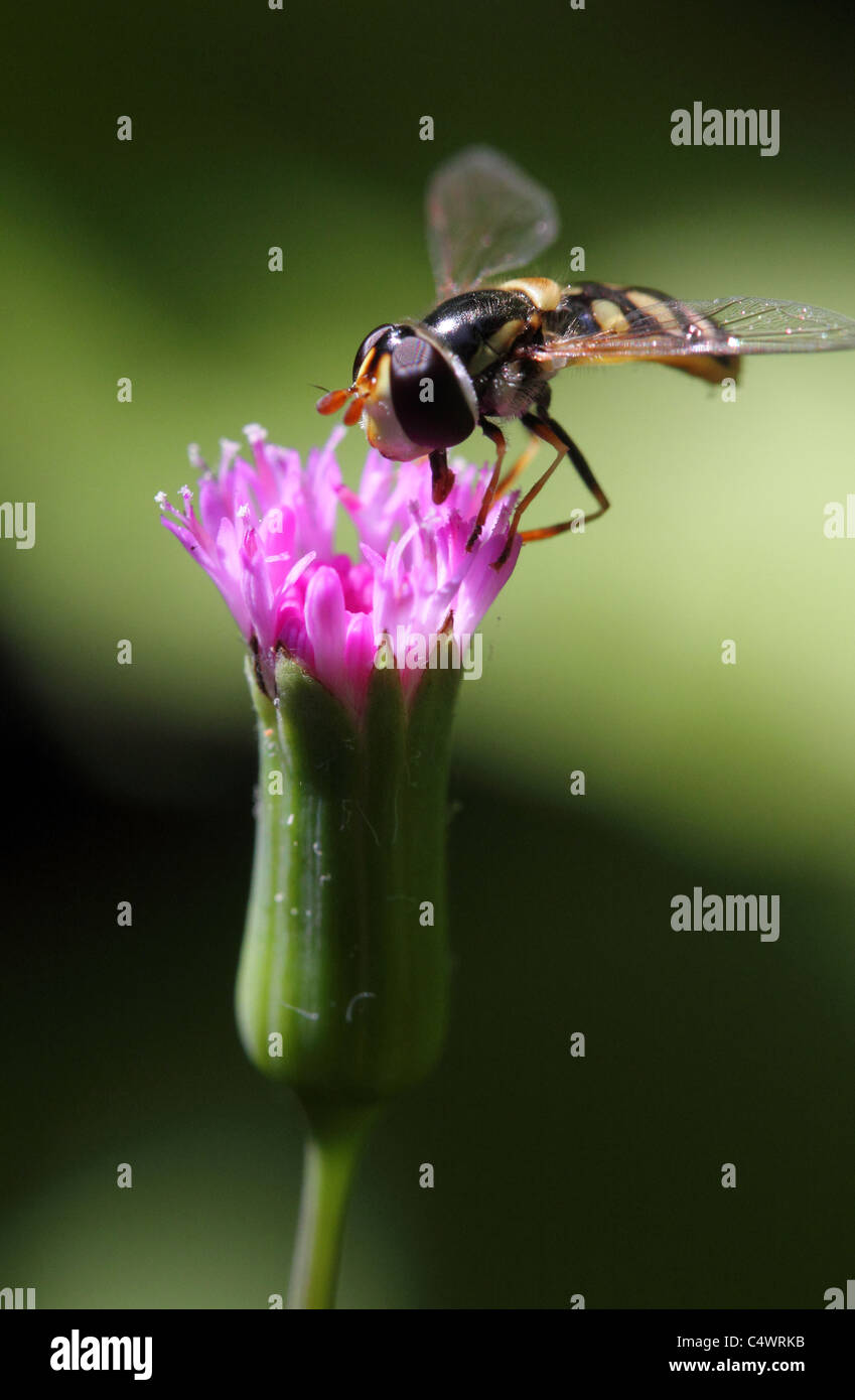 A BEE FEEDING ON A PINK FLOWER PORTRAIT VERTICAL GREEN BACKGROUND BDA12170 - Stock Image