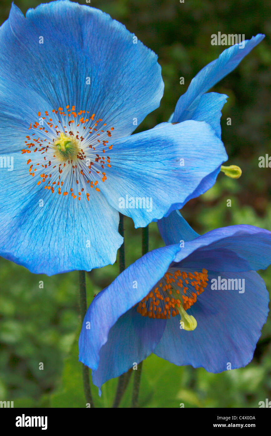 Meconopsis Dalemain flowers. Blue Himalayan Poppy. - Stock Image