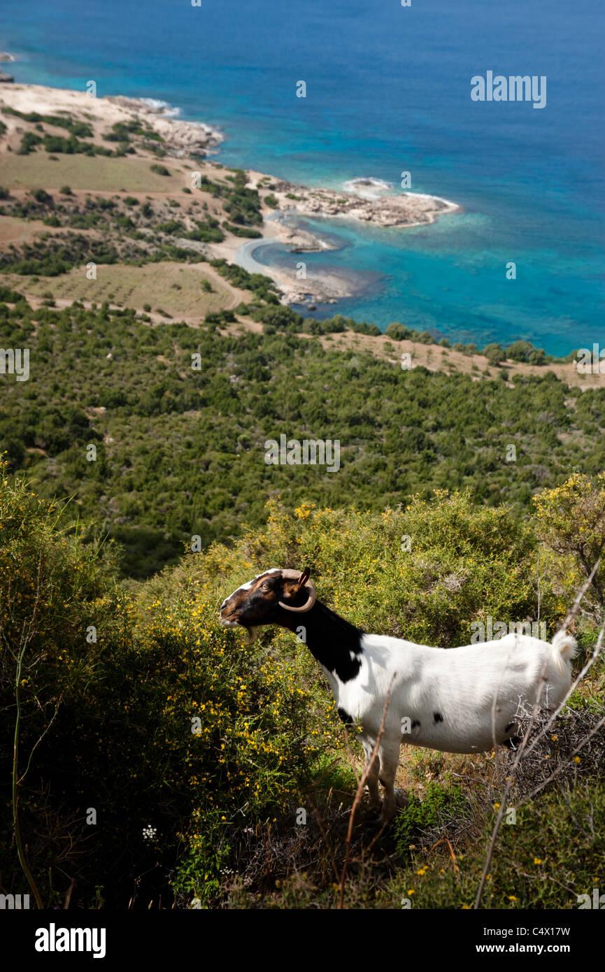 Goats grazing on the slopes of the Akamas Peninsula in northwestern Cyprus. - Stock Image
