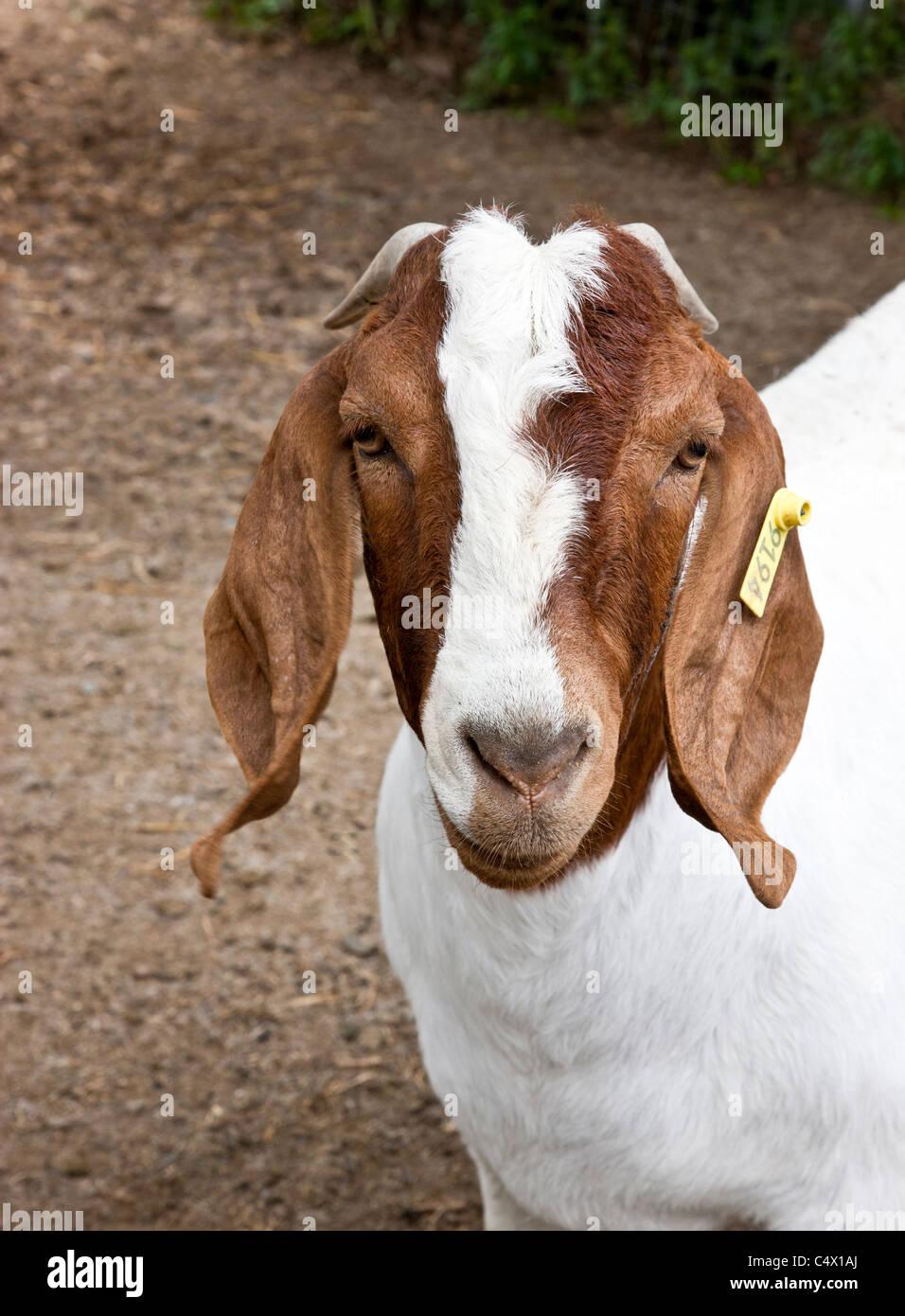 Goat 'Boer' - Stock Image