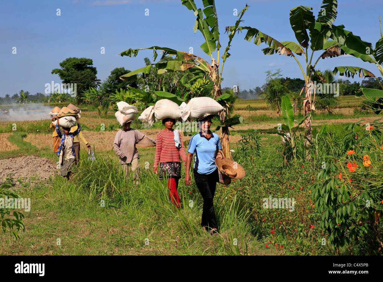 Women workers walking through the rice fields with bags of rice on their heads. Ubud ,Bali, Indonesia - Stock Image