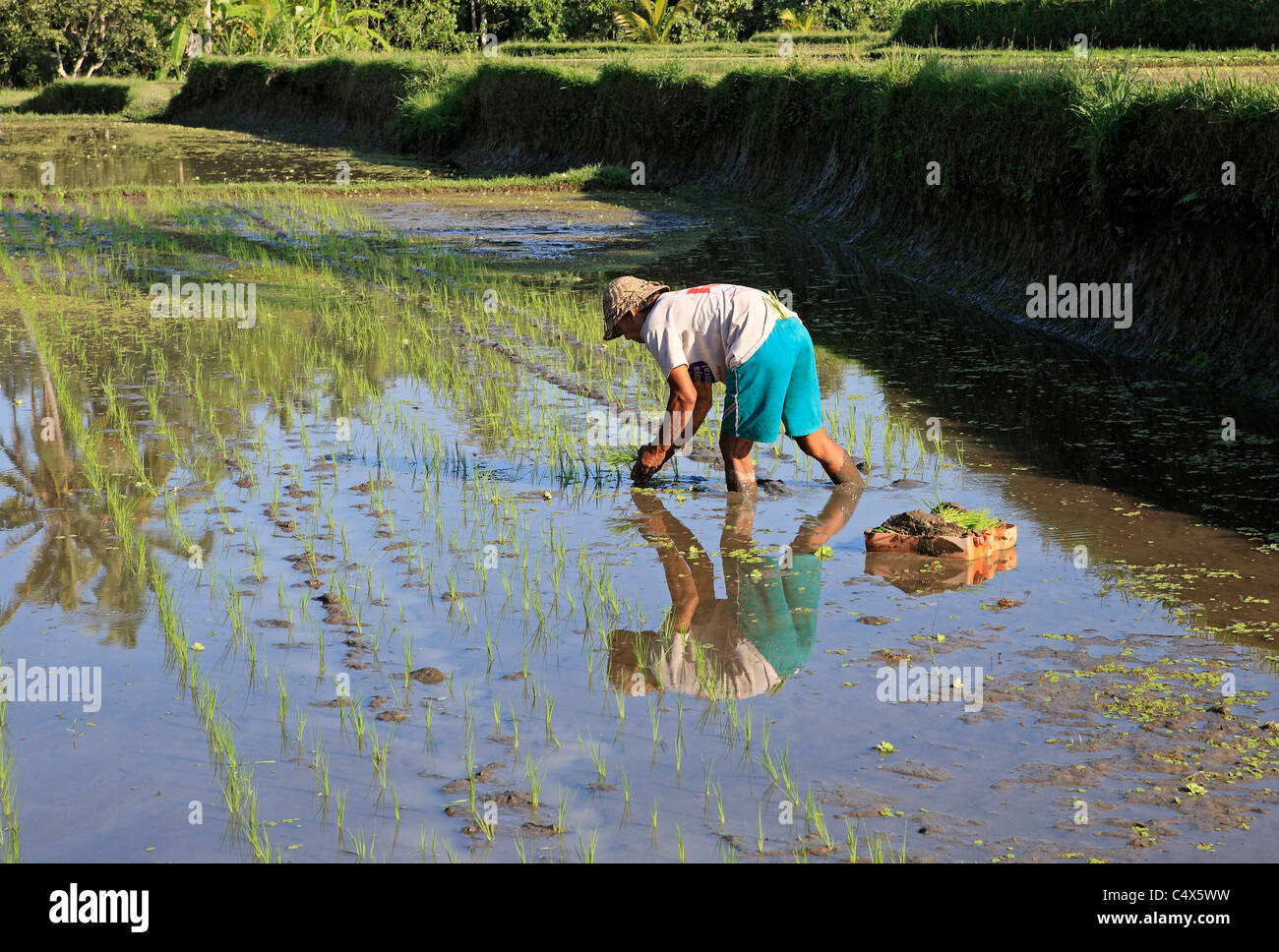 Farmer planting rice in his rice paddy. Ubud Bali, Indonesia - Stock Image