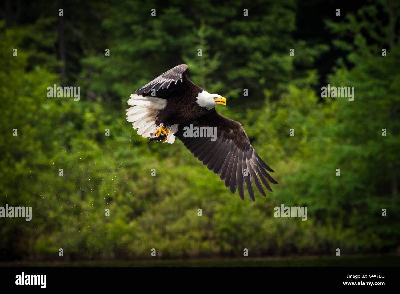 American bald eagle (Haliaeetus leucocephalus) in flight with fish Boulder Junction, Wisconsin. - Stock Image