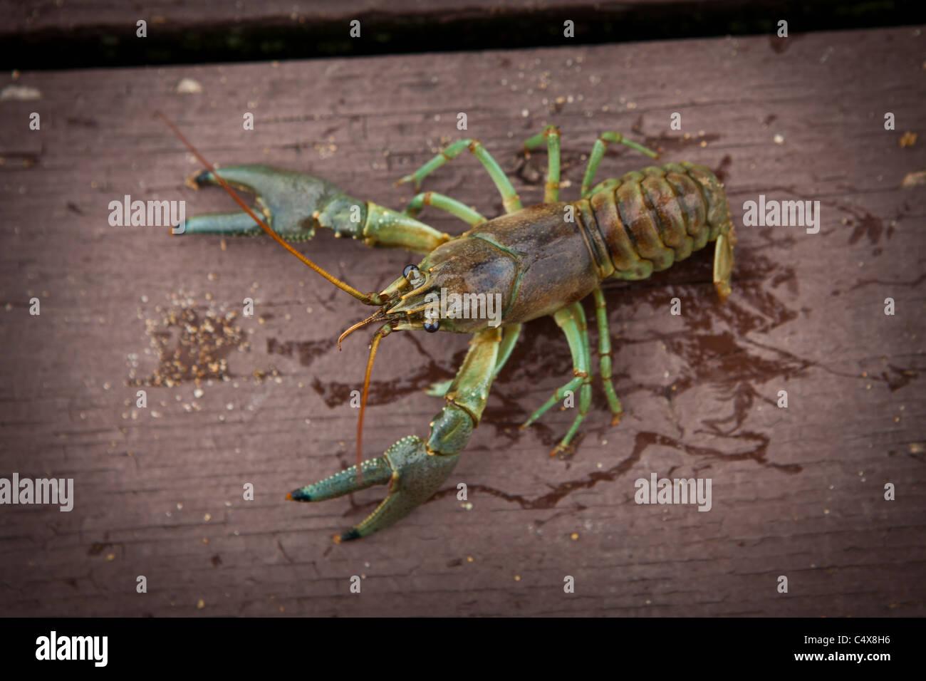 Rusty crayfish (Orconectes rusticus) Boulder Junction, Wisconsin. - Stock Image