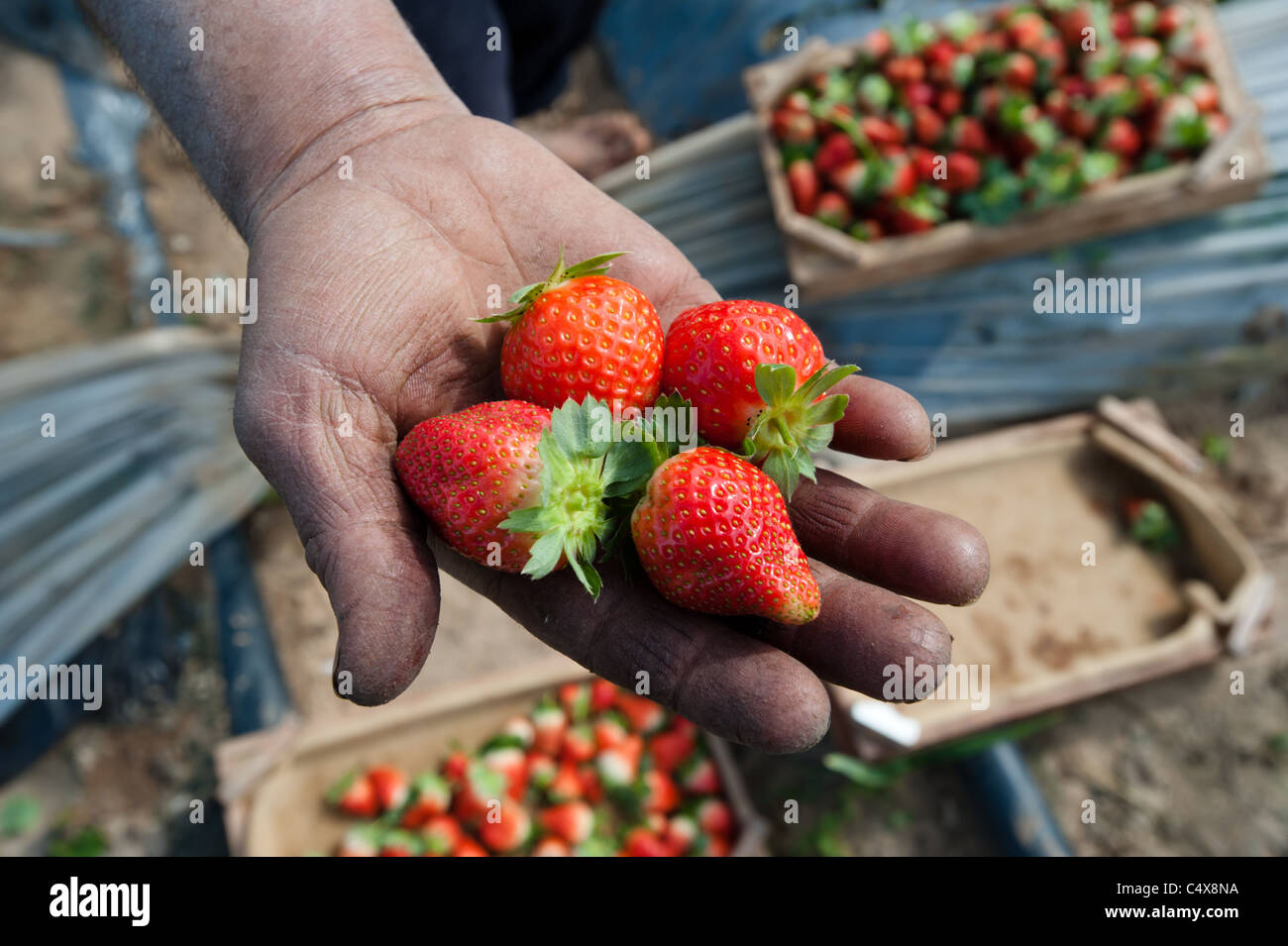 A Palestinian man holds a handful of freshly picked strawberries on a farm in northern Gaza. - Stock Image