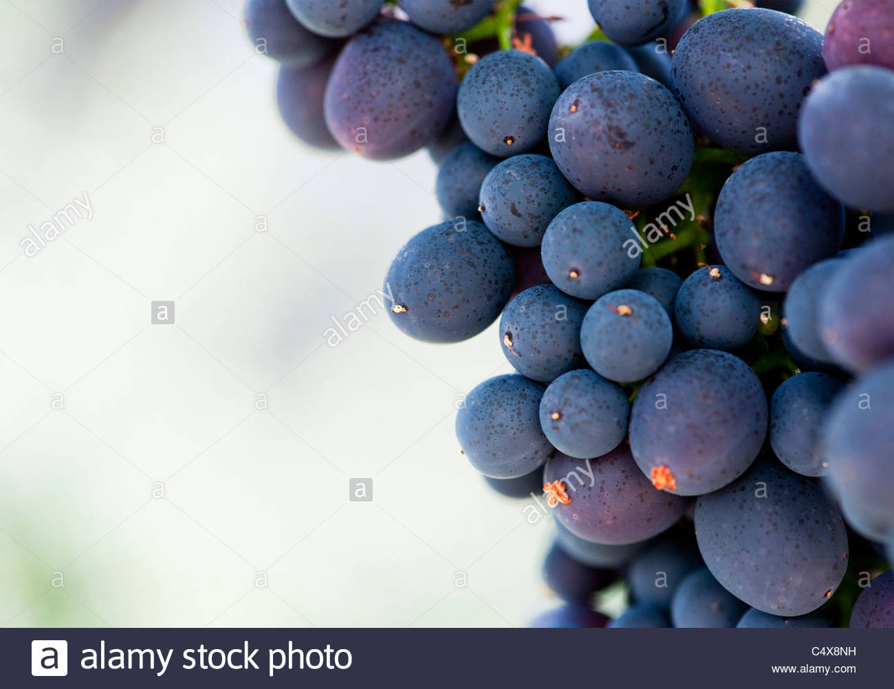 Bunch of Grapes , Nero d'Avola . Sicily Grape Variety - Stock Image