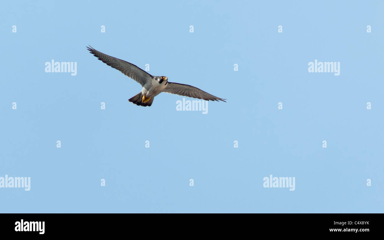 Adult Peregrine Falcon (Falco peregrinus) in flight above Lincoln Cathedral - Stock Image
