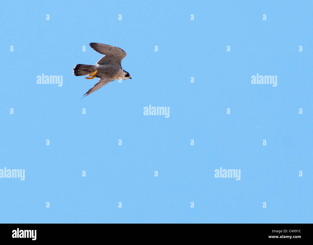 Peregrine Falcon (Falco peregrinus) in flight above Lincoln Cathedral - Stock Image