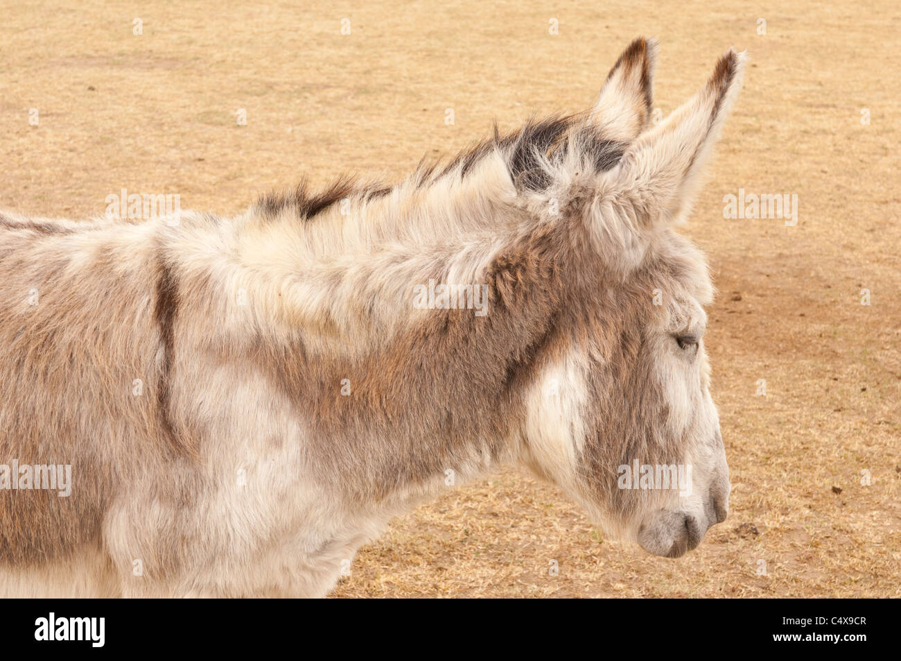 A Donkey at Redwings Horse Sanctuary at the Caldecott Visitor Centre in Fritton , Norfolk , England , Britain , Stock Photo