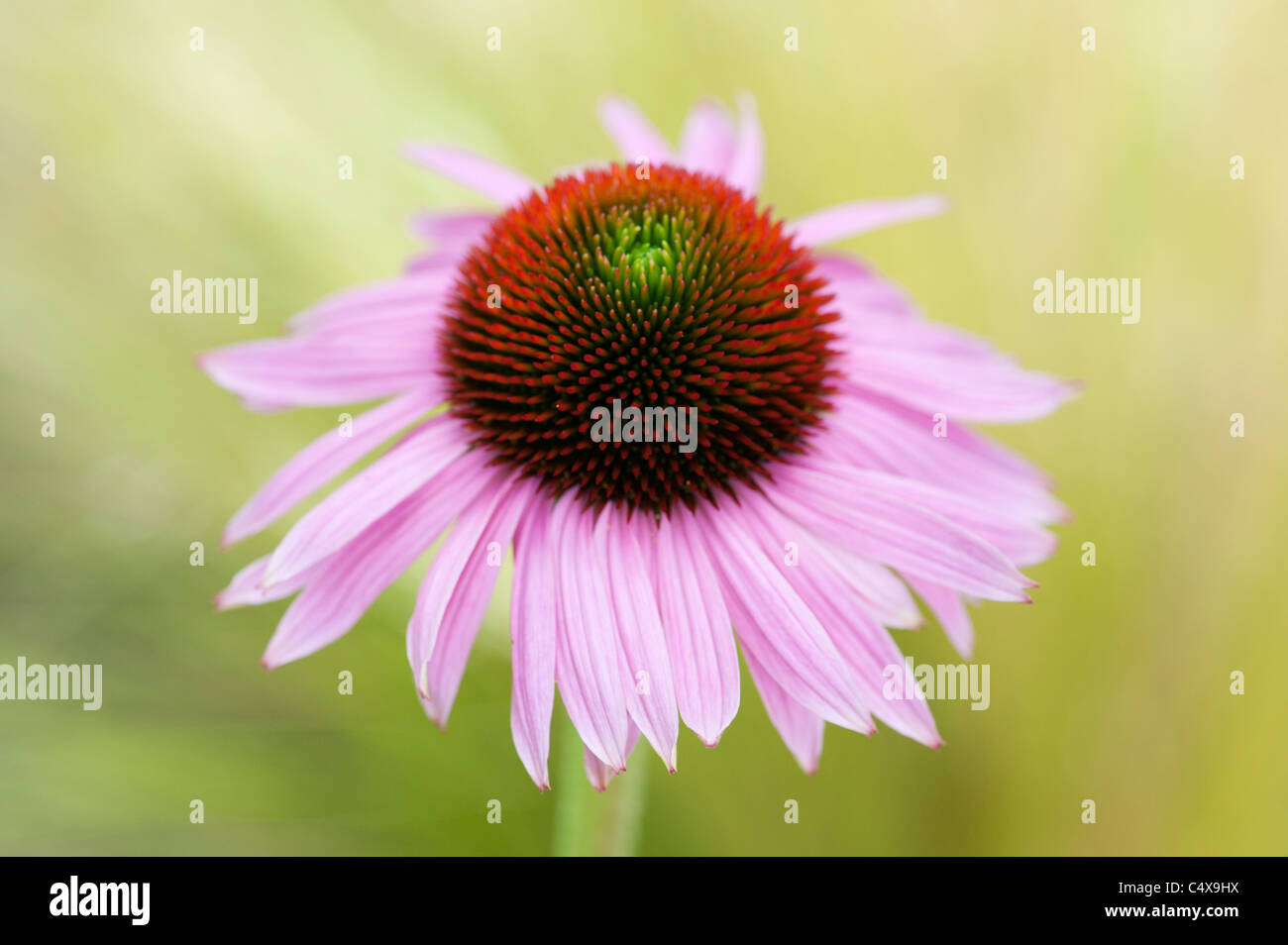 Echinacea purpurea 'Ruby Giant' coneflower Stock Photo