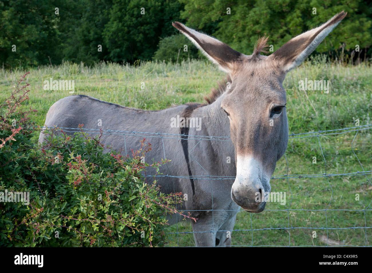 ane donkey - Stock Image