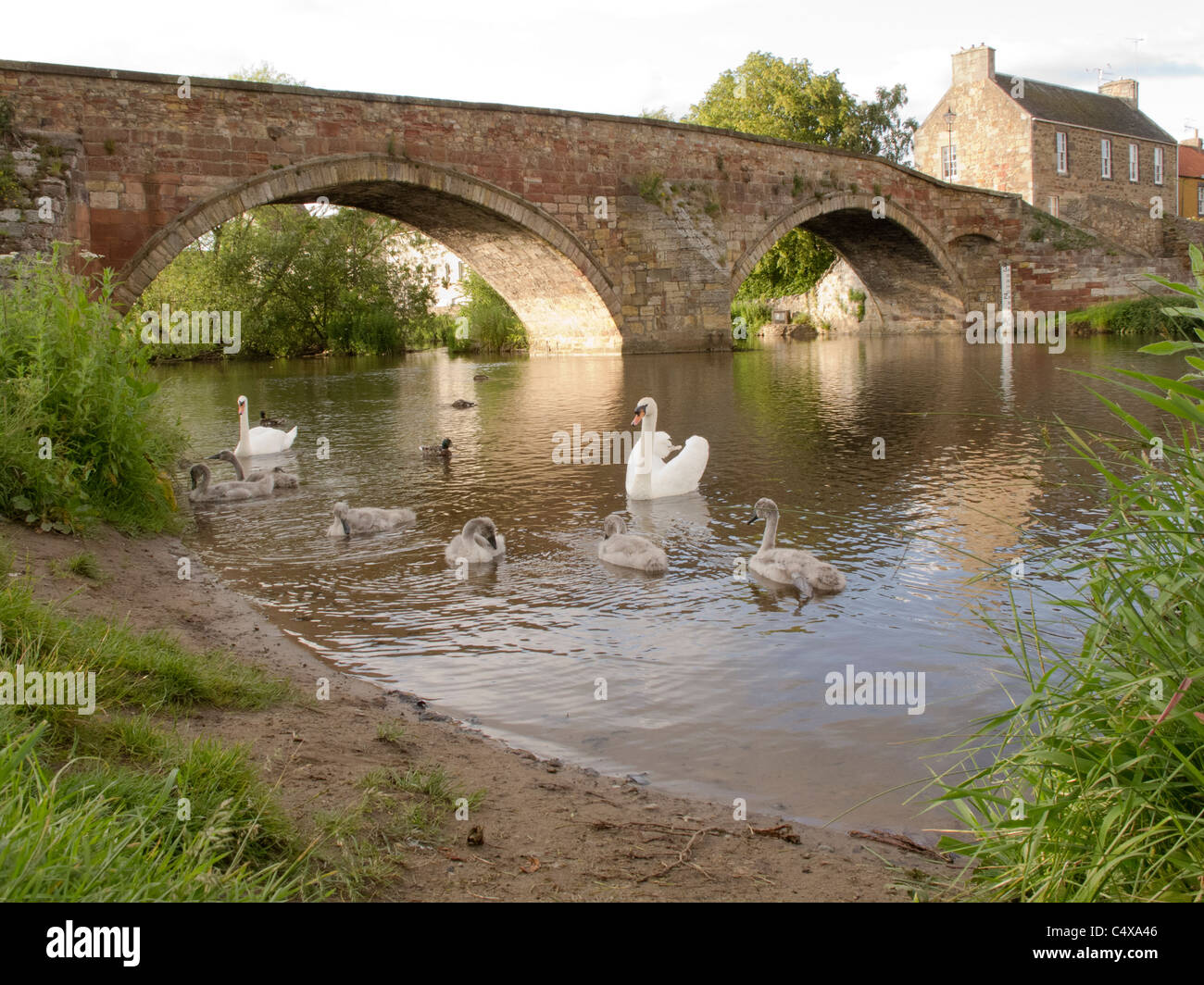 Family of swans by the Nungate Bridge in the historic town of Haddington, East Lothian, Scotland. - Stock Image