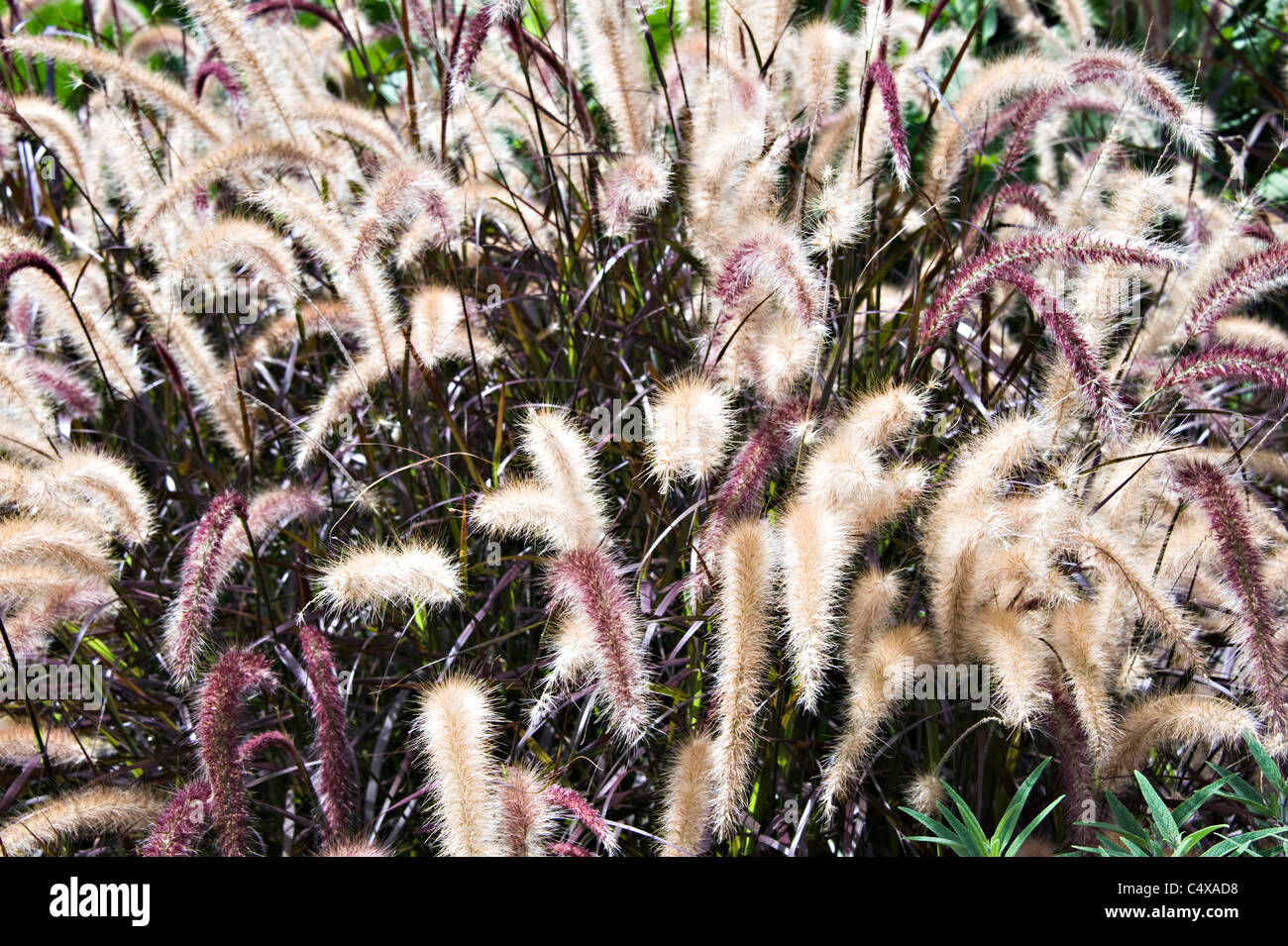 The Perennial Grass Purpureum Or Red Fountain Grass Growing In