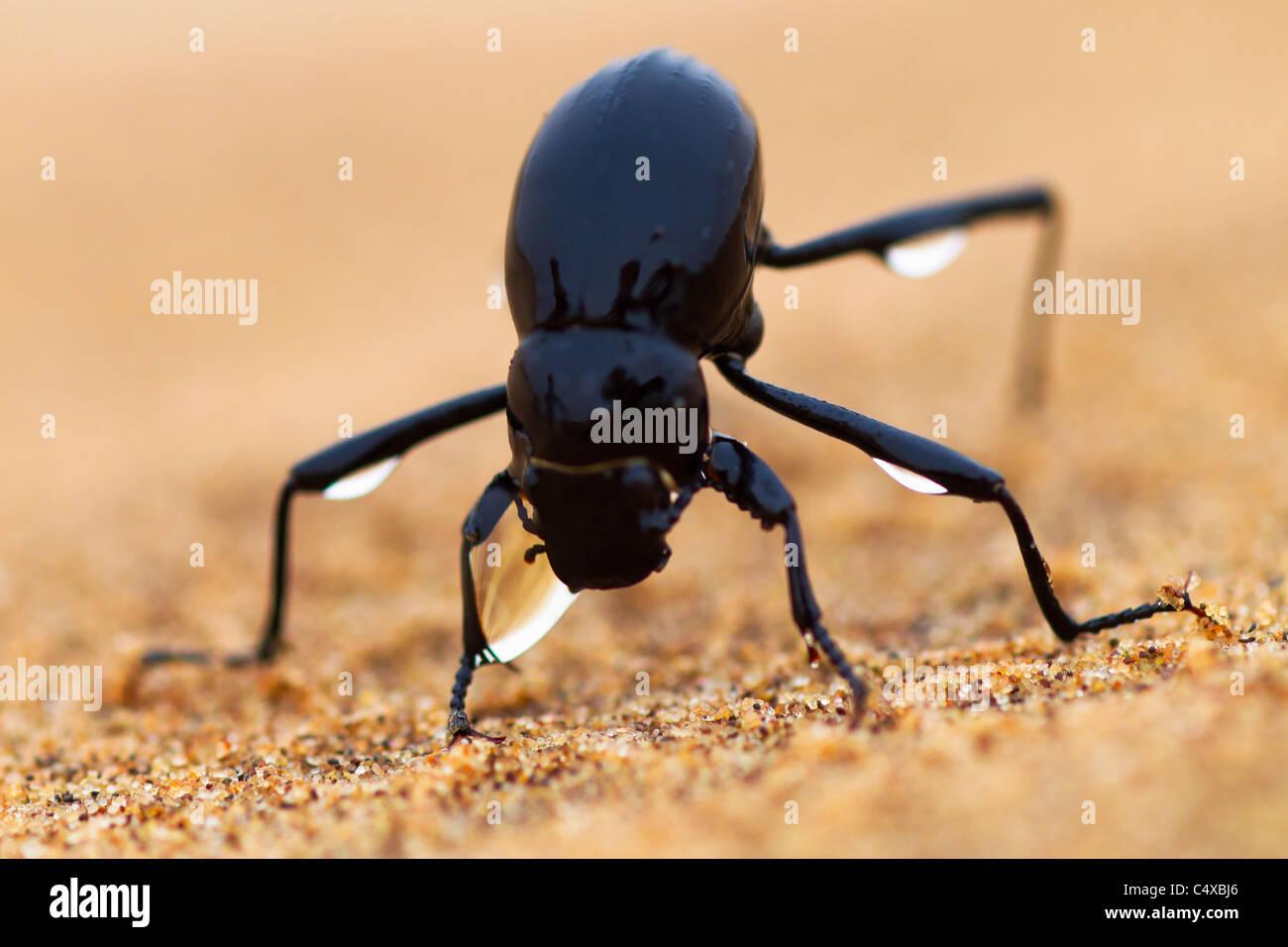 The Namib Desert beetle (genus Stenocara) fog basking. Namibia - Stock Image