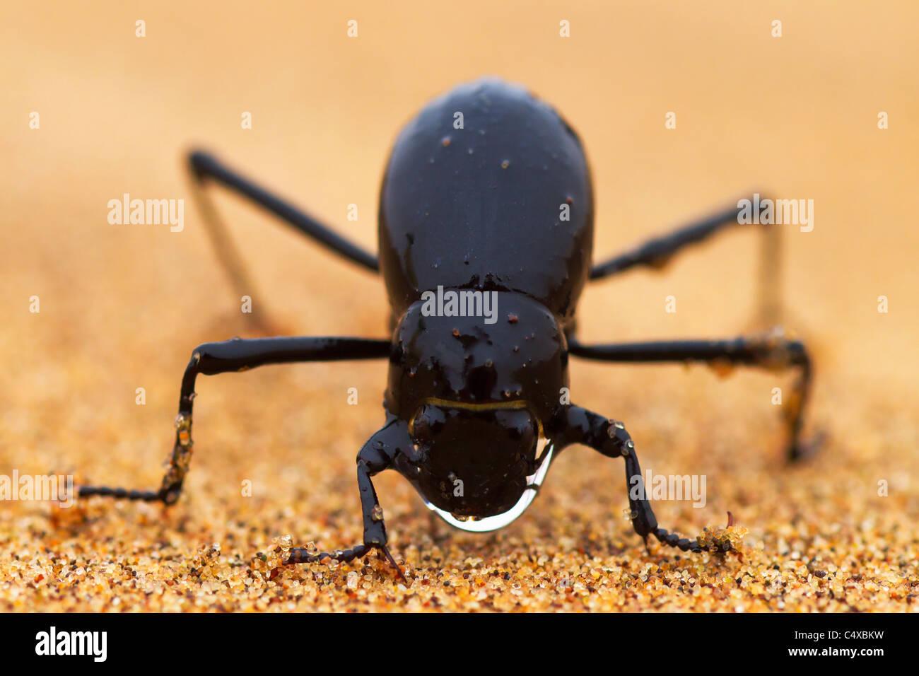 The Namib Desert beetle (genus Stenocara) fog basking. Namibia Stock Photo