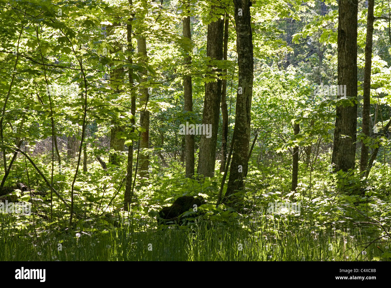 Early morning sun filters through a forest on Washington Island, Wisconsin. Stock Photo