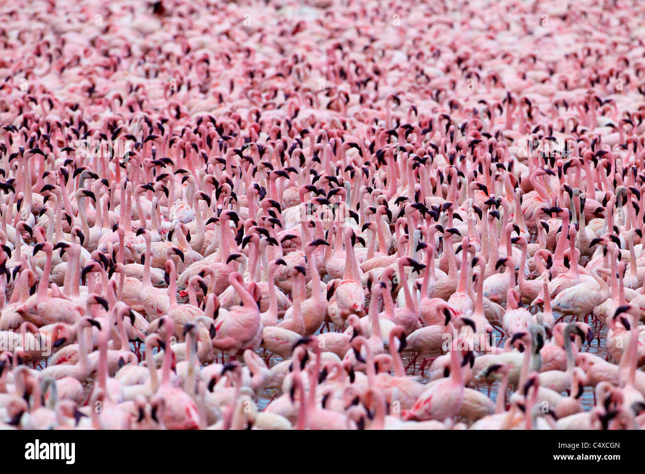 Lesser Flamingo (Phoenicopterus minor) at Lake Bogoria.Kenya - Stock Image