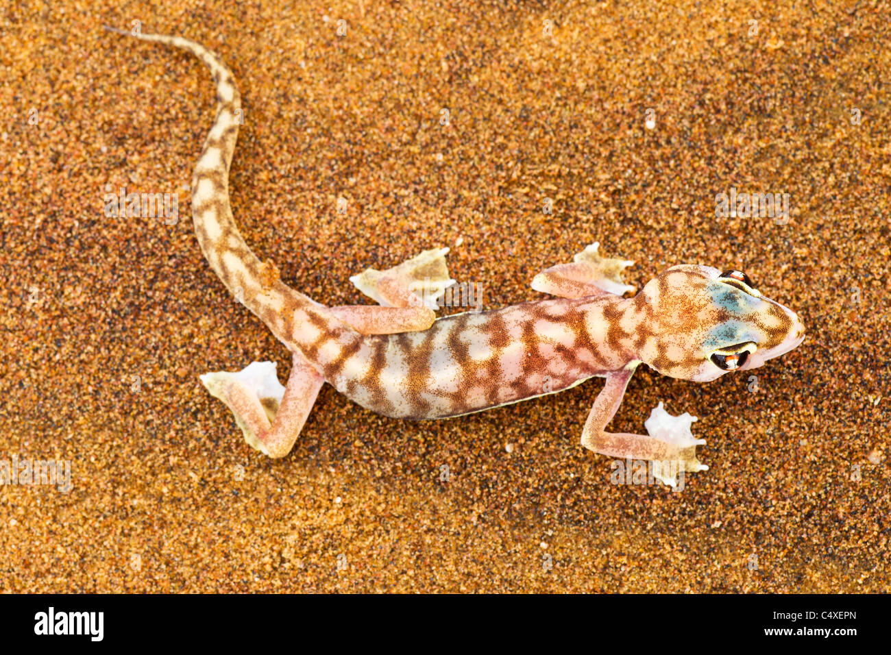 Web-footed Gecko (Palmatogecko  rangei). Nocturnal animals that live mostly nestled in deep burrows. Stock Photo