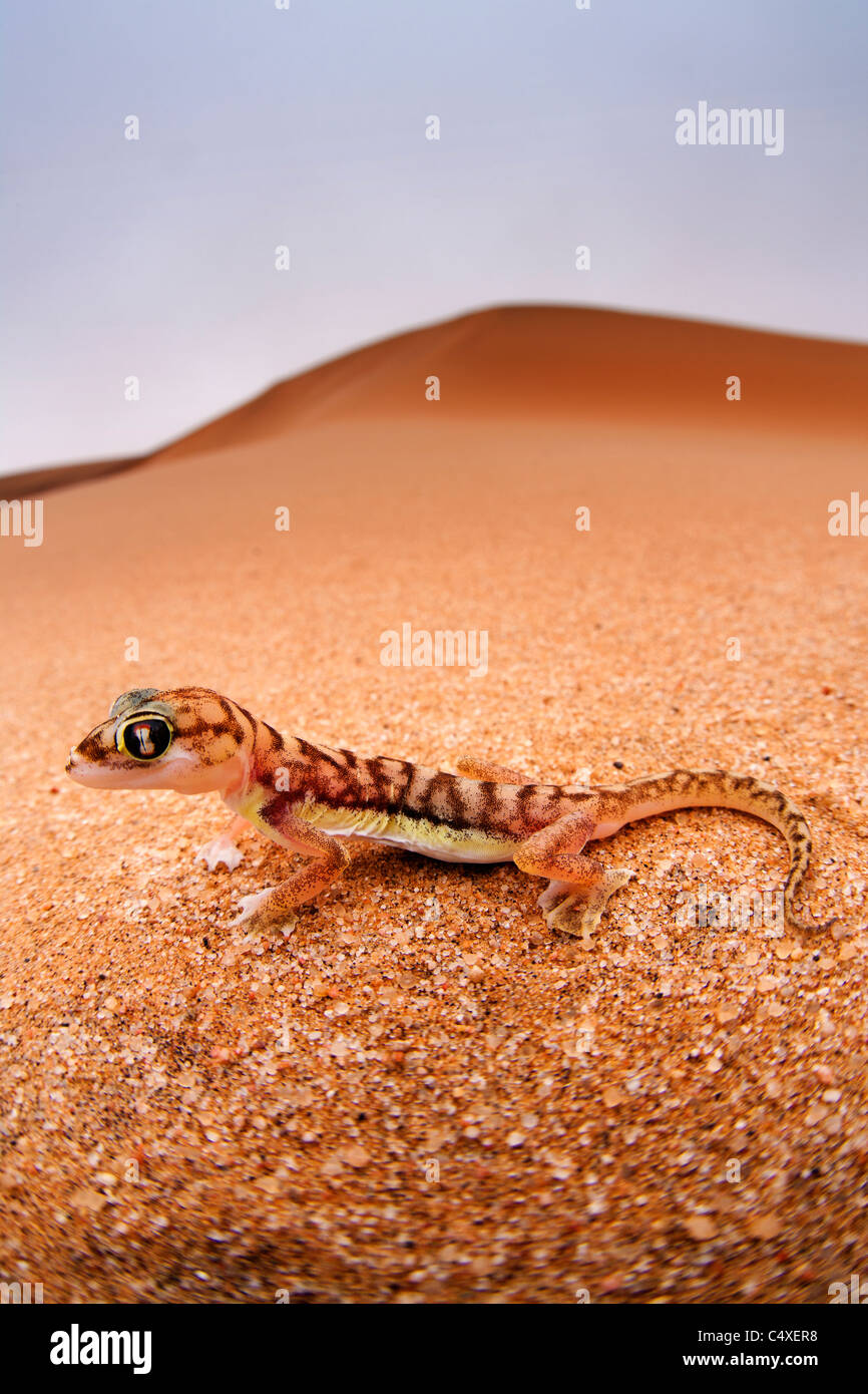 Web-footed Gecko (Palmatogecko  rangei). Nocturnal animals that live mostly nestled in deep burrows. - Stock Image