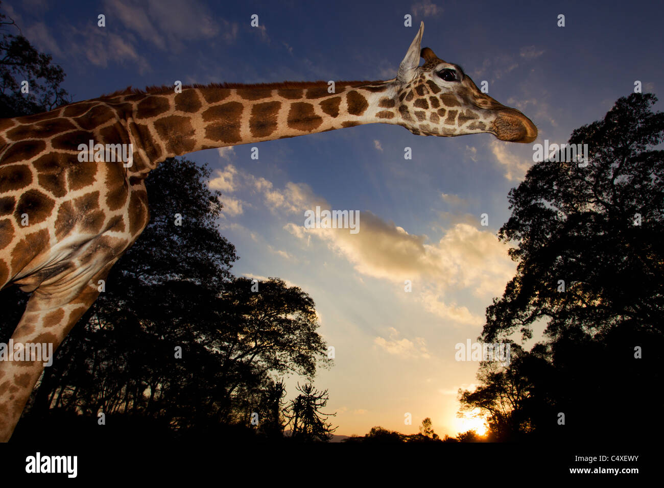 Rothschild Giraffe (Giraffa camelopardalis rothschildi) Is one of 9 subspecies of giraffe.Giraffe Manor Kenya. Dist. - Stock Image
