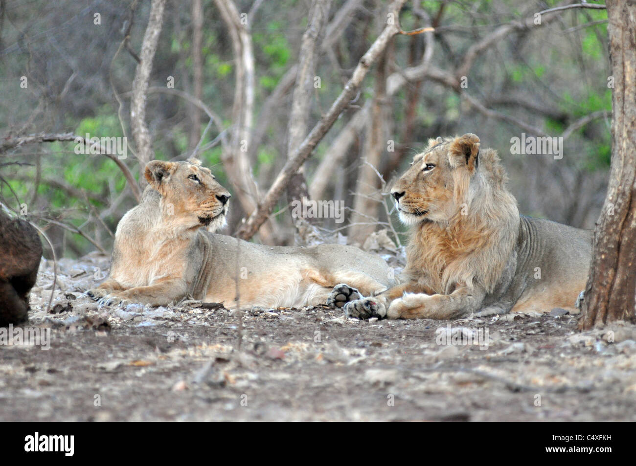 Asiatic Lion Pair in the GIR National Park - Stock Image