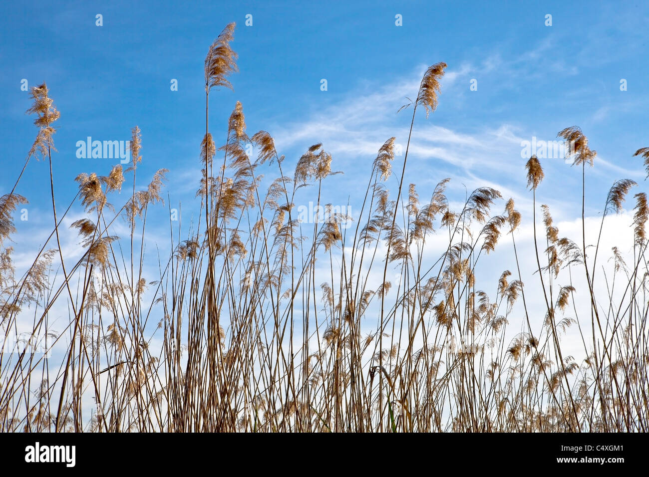 Reed in the spring sunshine on Lake Maggiore - Stock Image
