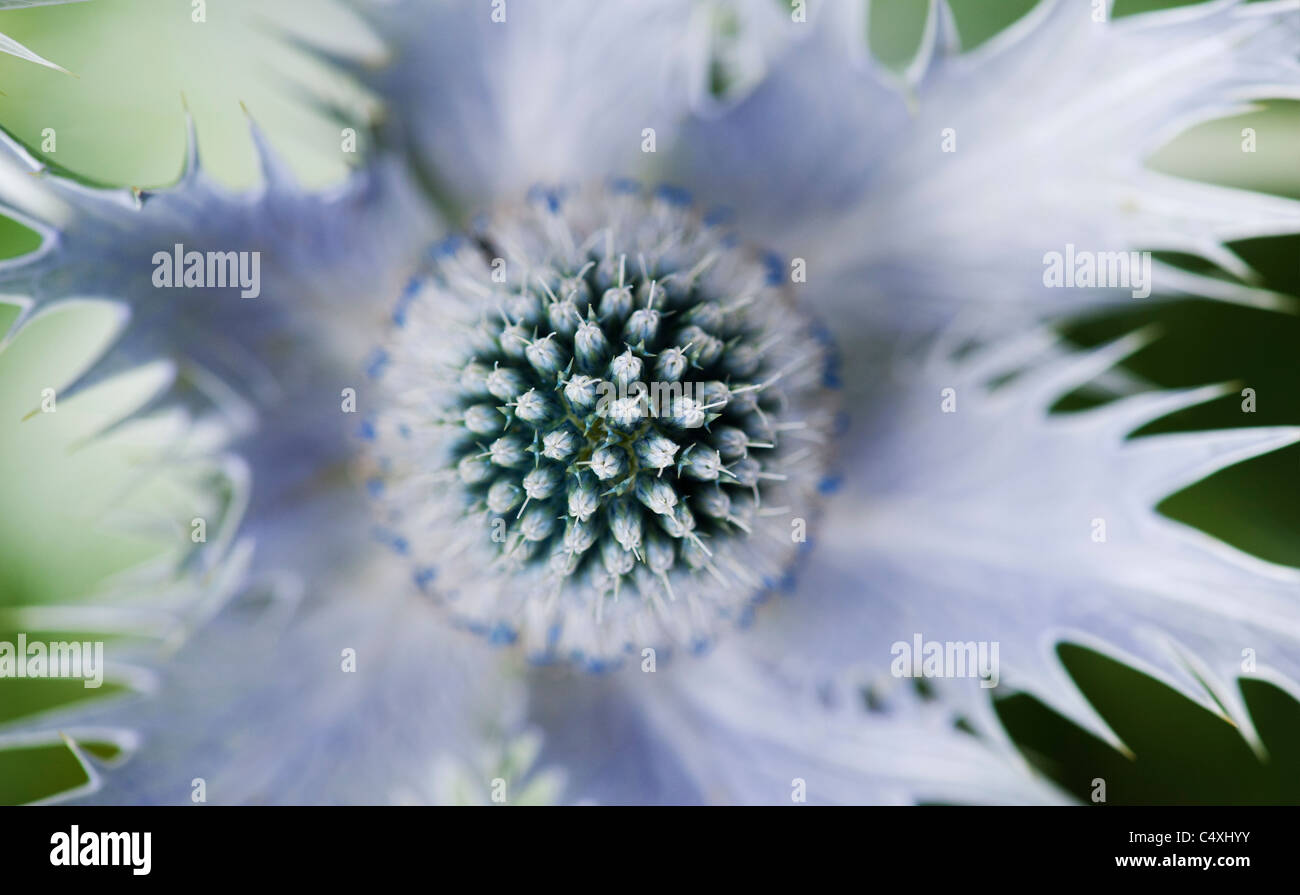 Eryngium giganteum 'Silver Ghost'. Sea Holly flower - Stock Image
