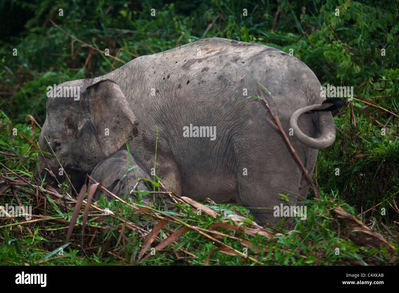Wild Asian elephant Borneo cow with small calf pygmy elephants grazing in riverine marshland - Stock Image
