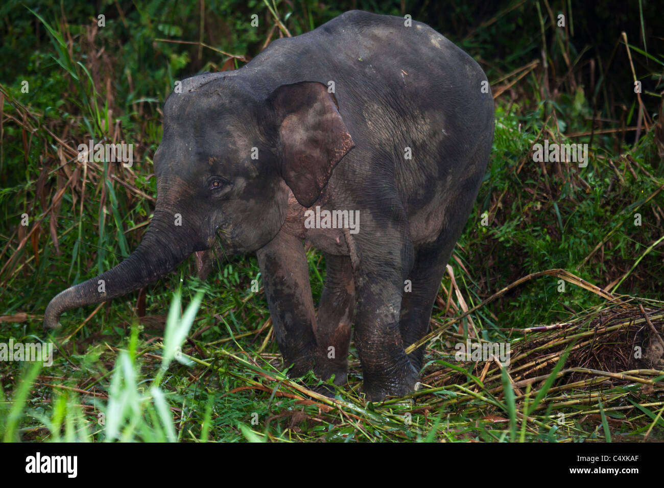 Wild Asian elephant Borneo pygmy elephants grazing in riverine marshland - Stock Image