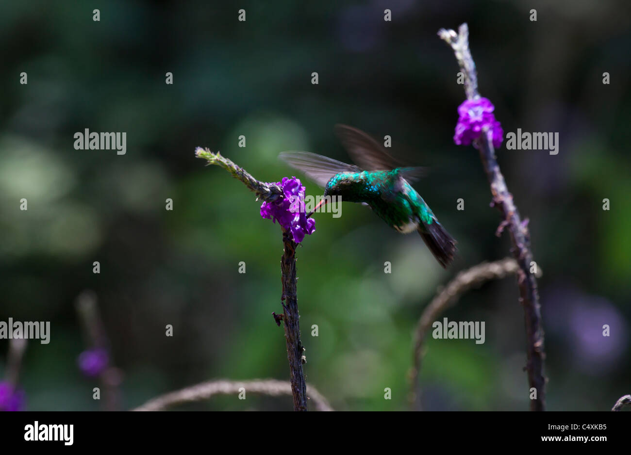 Colibri Hummingbird Coppery -headed Emerald hovering feeding from flower - Stock Image