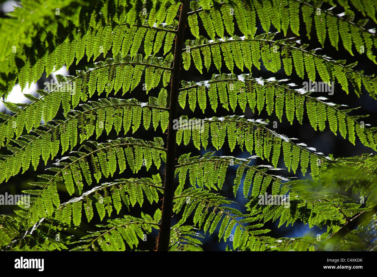 tree fern giant tree fern gymnosperms - Stock Image