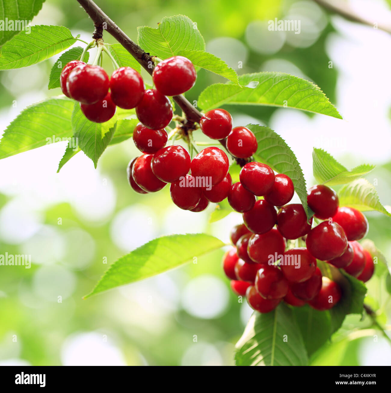 Cherry tree with ripe cherries in the garden. - Stock Image