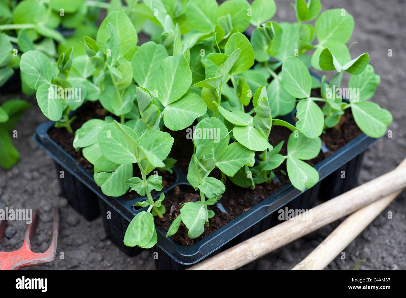Young Garden Pea Plants Ready For Planting Out In The Garden - Stock Image
