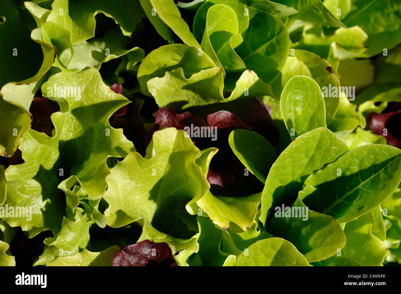Lettuce leaves - Stock Image