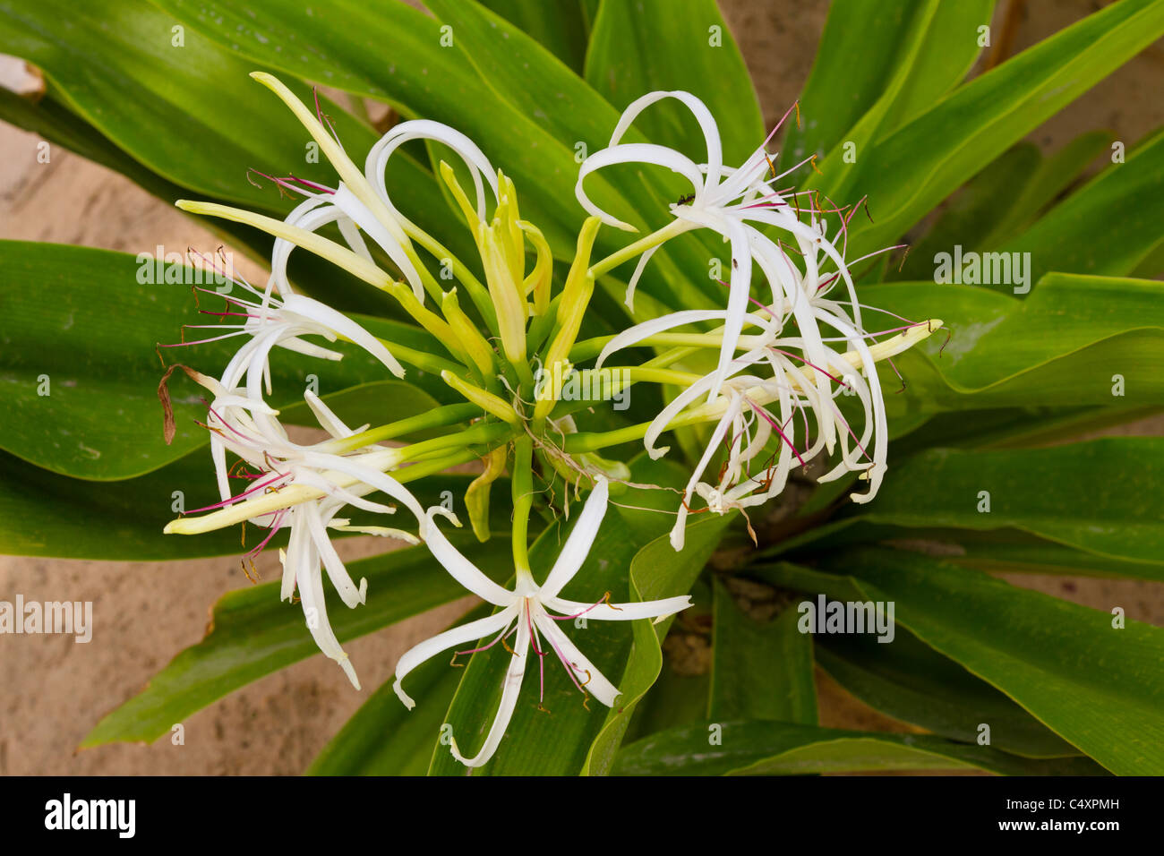 Spider lily stock photos spider lily stock images alamy the spider lily flower in creek park dubai uae stock image izmirmasajfo