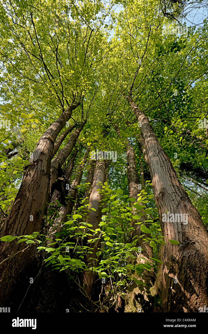 Lime tree Tilia chordata coppice in the Wye Valley - Stock Image