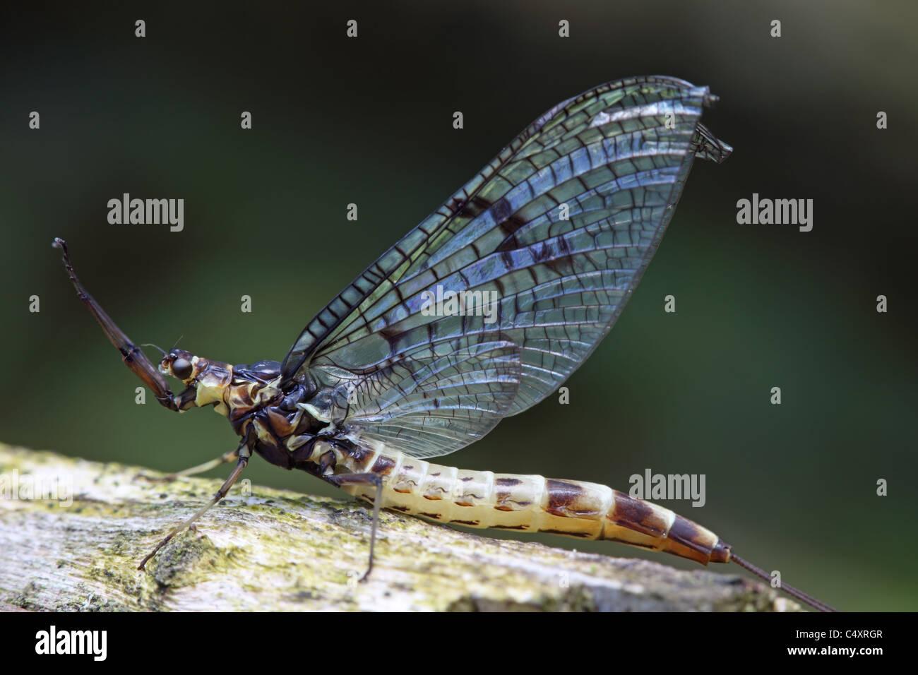 Closeup of a Newly Emerged Mayfly Ephemera danica - Stock Image