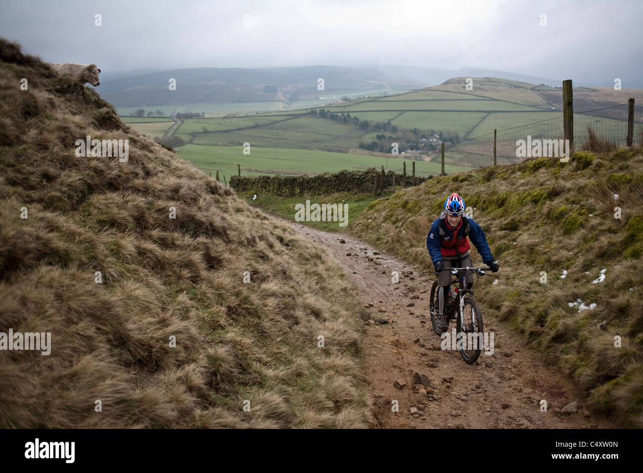 Mountain biker rides a trail past a cow in the Peak District, England, United Kingdom Stock Photo