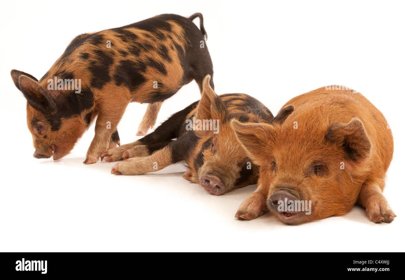Three Micro Kune Kune piglets on a white back ground - Stock Image